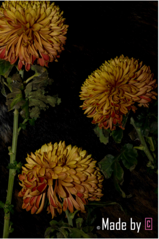 Chrysant - 52 Weeks Foto Friday - © Made by C | Fotografie